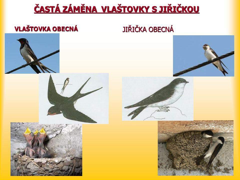 Image result for rozdíl mezi jiřičkou a vlaštovkou