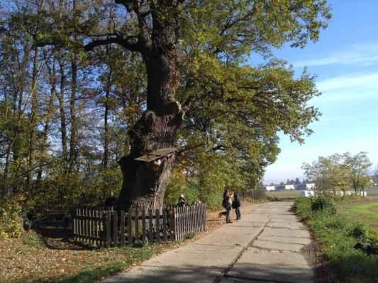 chráněný strom