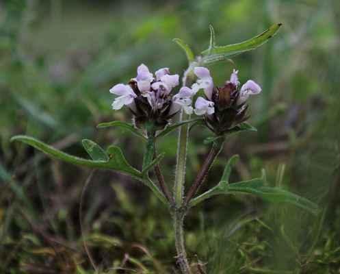 Černohlávek kříženec velkokvětého s dřípeným (Prunella x dissecta - P. grandiflora x P. laciniata)