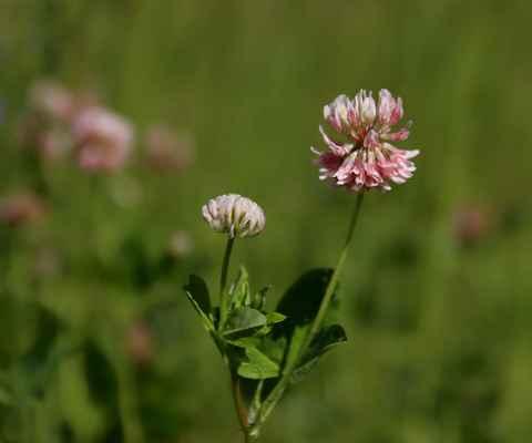Jetel zvrhlý (Trifolium hybridum)