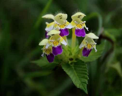 Konopice sličná (Galeopsis speciosa)
