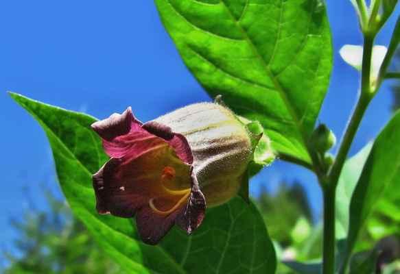 Rulík zlomocný (Atropa bella-donna)