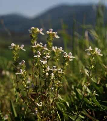 Světlík lékařský Rostkovův horský (Euphrasia officinalis subsp. rostkoviana var. monticola) - C1t