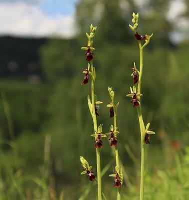 Tořič hmyzonosný (Ophrys insectifera) - C1b, §1