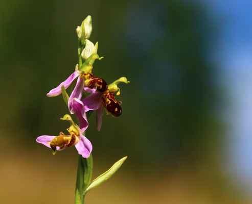 Tořič včelonosný (Ophrys apifera) - C1r, §1