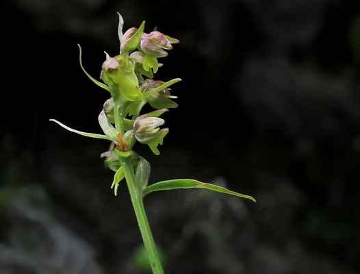 Vemeníček zelený (Coeloglossum viride) - C2t, §2