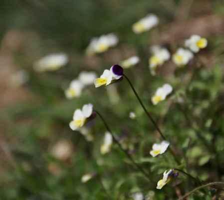 Violka rolní (Viola arvensis)