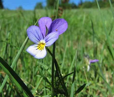 Violka trojbarevná (Viola tricolor) - C4b