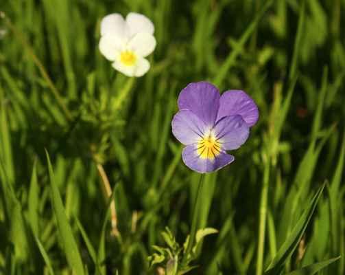 Violka trojbarevná různobarevná (Viola tricolor subsp. polychroma) - C3