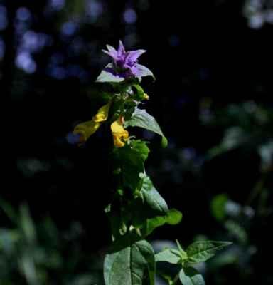 Černýš hajní časný (Melampyrum nemorosum var. praecox)