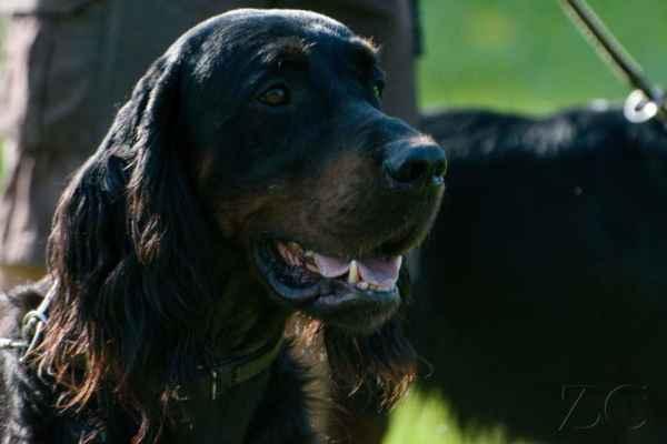Gordonsetr je krásný pes.