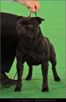 Glimmer Man Domidar Dogs (Breno Domidar Dogs X Maya Stawk Wieksza Niz Zycie) - Třída otevřená - psi - známka: výborný 1, CAC, CACIB, BOB