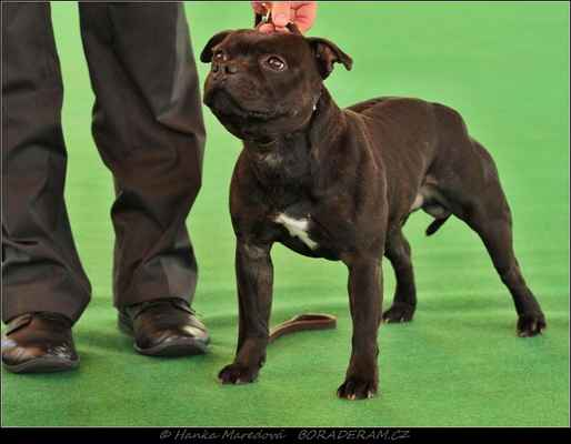 Front Runner Domidar Dogs (Breno Domidar Dogs X Beretta Domidar z Hambalek Bušín) - Třída šampionů - psi - známka: výborný 2,res. CAC