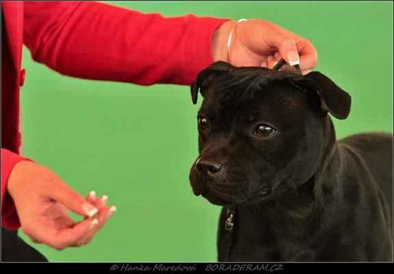Ursa Stawka Wieksza Niž Žycie (Joli Kaf Du Domaine D´Ishtar X Extra´s Legay Domidar Dogs) - Třída mladých - feny - známka: výborná