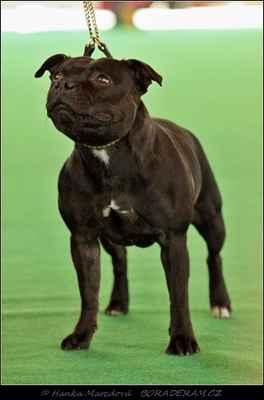Arleta Fantastic Fay Bohutín (Valglo Dream Maker X Athena Domidar Dogs) - Třída otevřená - feny - známka: výborná
