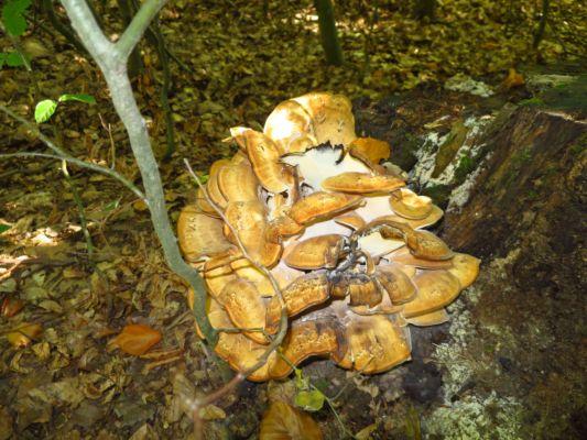 a copak je toto za houbu? vypadá to jako hlíva ústřičná ...
